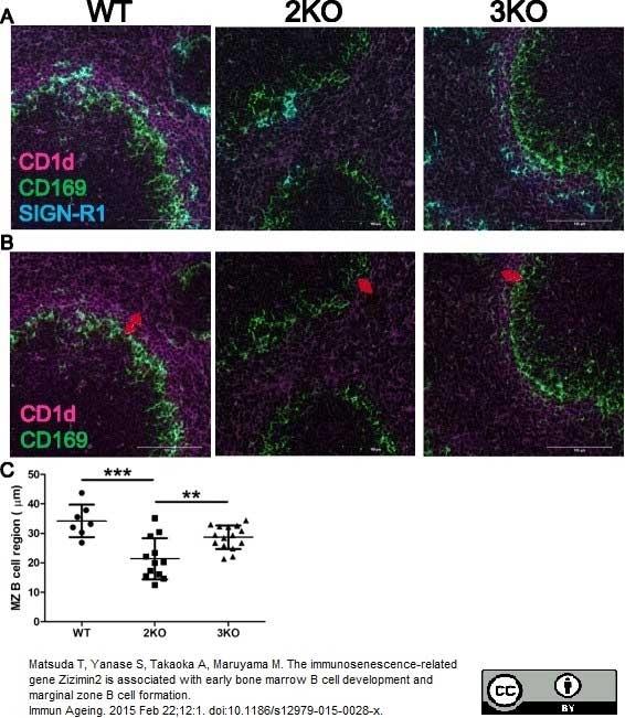 Anti Mouse CD169 Antibody, clone MOMA-1 thumbnail image 6