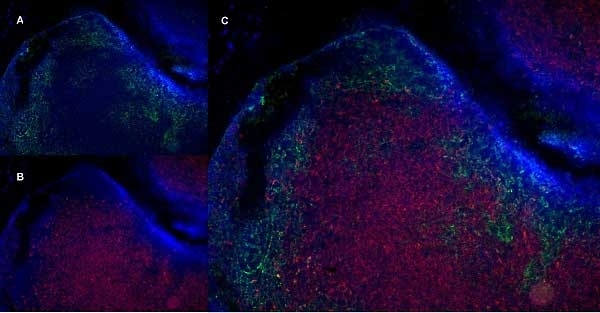 Anti Mouse CD19 Antibody, clone 6D5 gallery image 3