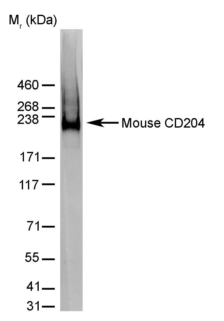 Anti Mouse CD204 Antibody, clone 2F8 thumbnail image 2