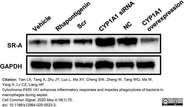 Anti Mouse CD204 Antibody, clone 2F8 thumbnail image 5