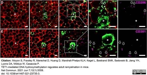 Anti Mouse CD206 Antibody, clone MR5D3 thumbnail image 14
