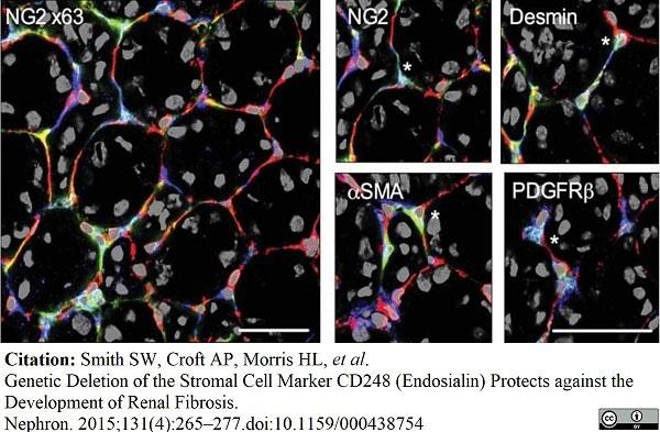 Anti Mouse CD31 Antibody, clone 2H8 thumbnail image 1