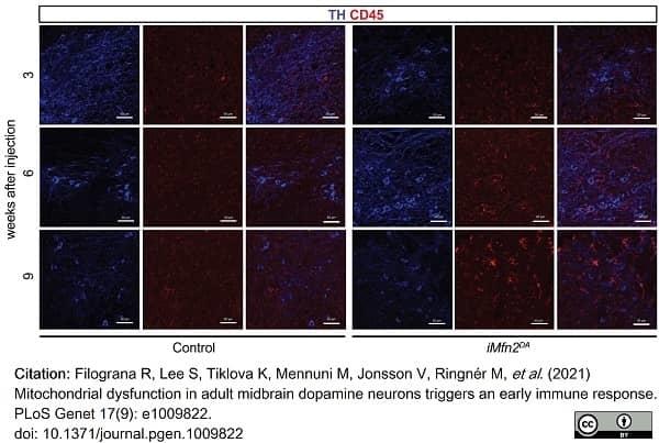 Anti Mouse CD45 Antibody, clone YW62.3 thumbnail image 11