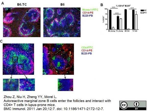 Anti Mouse CD45R Antibody, clone RA3-6B2 thumbnail image 5