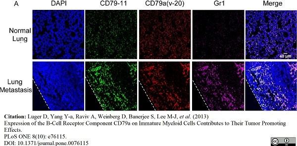 Anti Mouse CD79b Antibody, clone HM79-11 thumbnail image 5
