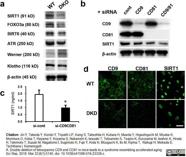 Anti Mouse CD81 Antibody, clone Eat2 thumbnail image 10