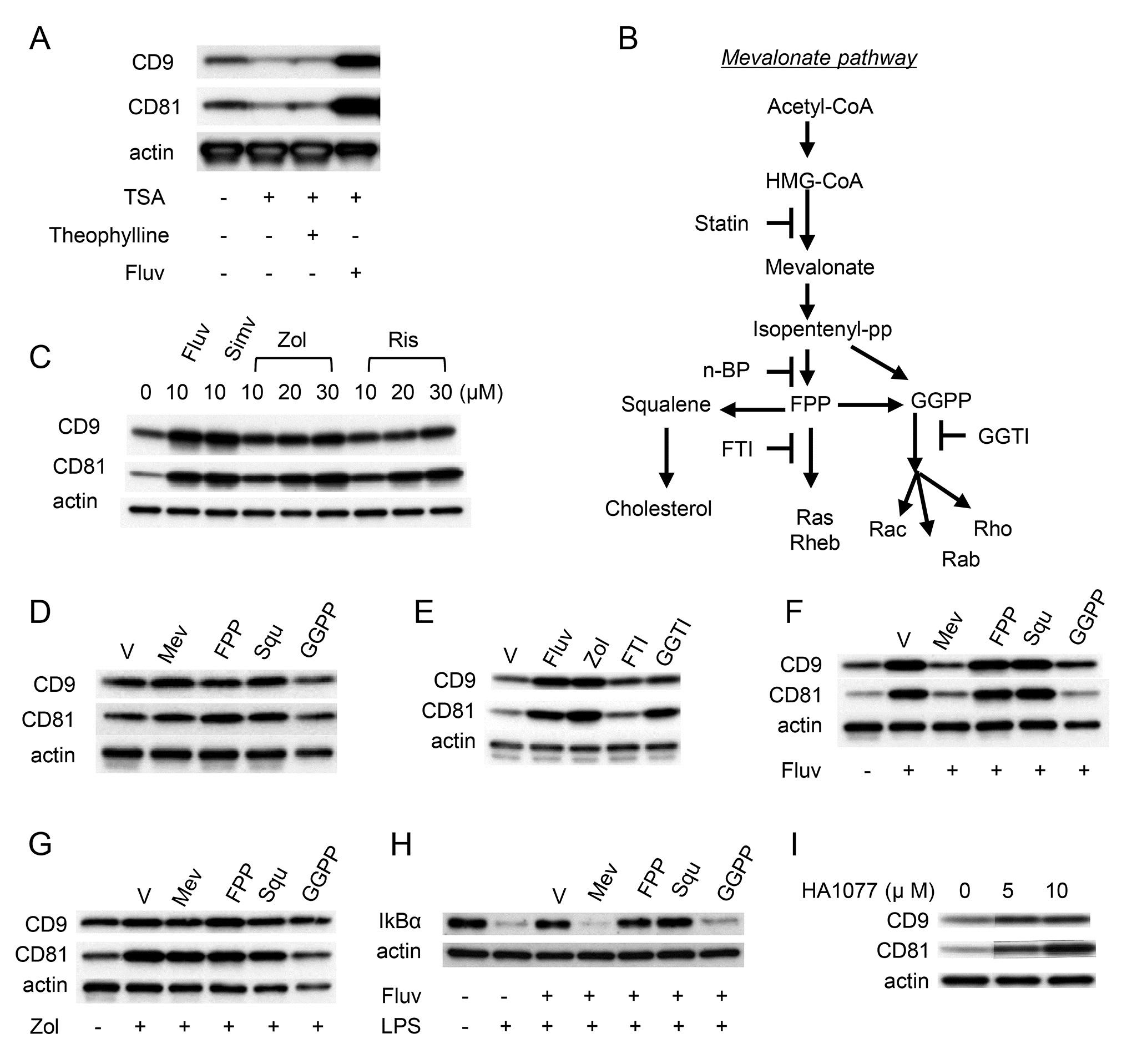 Anti Mouse CD81 Antibody, clone Eat2 thumbnail image 5