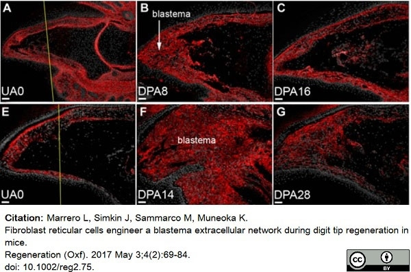 Anti Mouse ER-TR7 Antibody, clone ER-TR7 thumbnail image 3