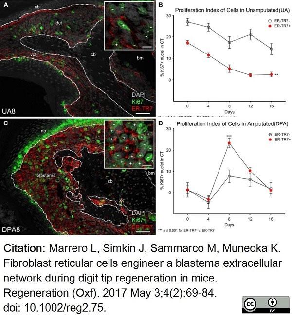 Anti Mouse ER-TR7 Antibody, clone ER-TR7 thumbnail image 4