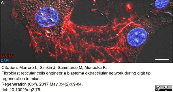 Anti Mouse ER-TR7 Antibody, clone ER-TR7 thumbnail image 7