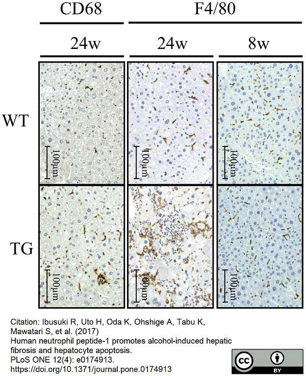 Anti Mouse F4/80 Antibody, clone Cl:A3-1 thumbnail image 31