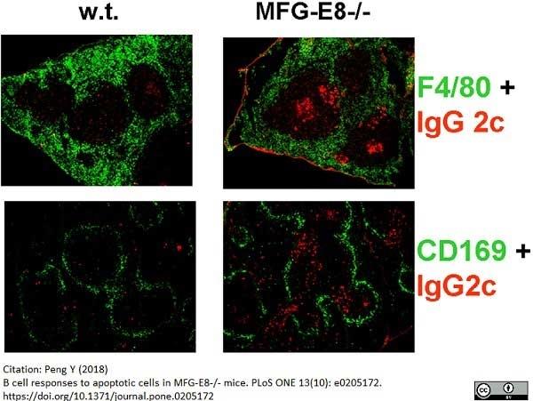 Anti Mouse F4/80 Antibody, clone Cl:A3-1 thumbnail image 37
