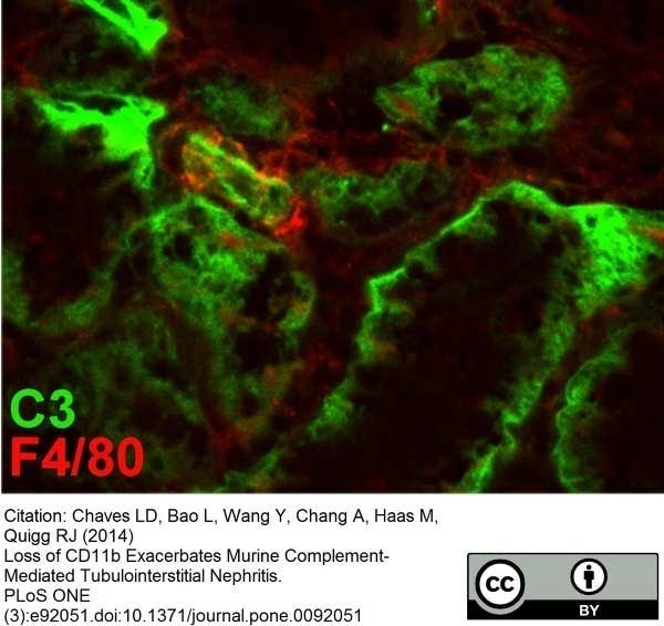 Anti Mouse F4/80 Antibody, clone Cl:A3-1 thumbnail image 7