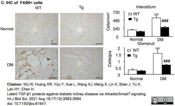 Anti Mouse F4/80 Antibody, clone Cl:A3-1 thumbnail image 74