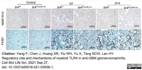 Anti Mouse F4/80 Antibody, clone Cl:A3-1 thumbnail image 75