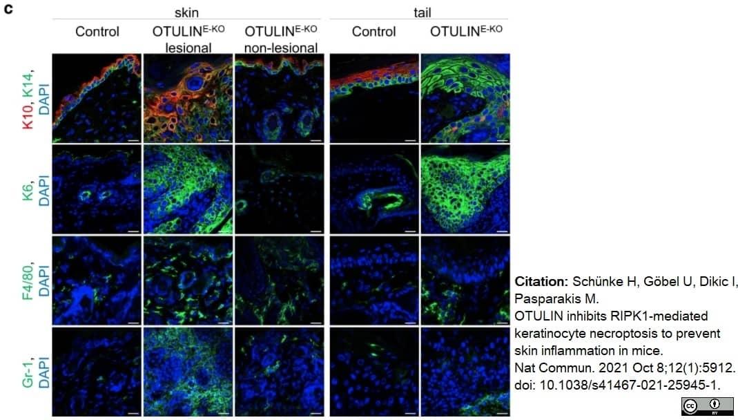 Anti Mouse F4/80 Antibody, clone Cl:A3-1 thumbnail image 76