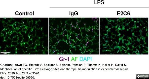 Anti Mouse Gr-1 Antibody, clone RB6-8C5 thumbnail image 14