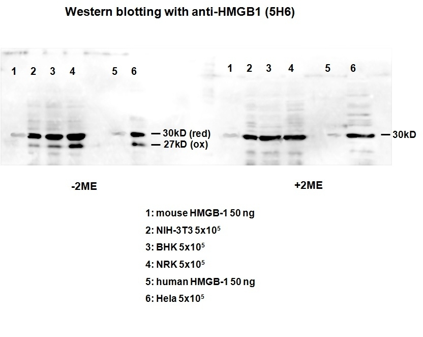 Anti High Mobility Group Protein B1 Antibody, clone HMG1-5H6 thumbnail image 1