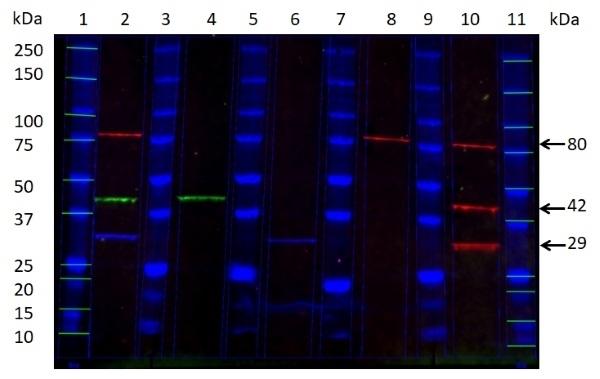 Anti Mouse IgG1 Antibody, clone AbD24121 thumbnail image 13