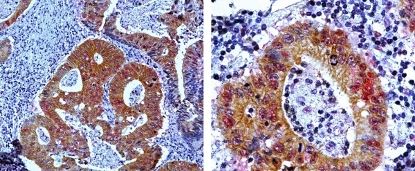 Anti Mouse IgG2a:Alk. Phos Antibody, clone AbD24124 thumbnail image 10