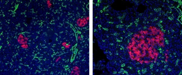 Anti Mouse IgG2a:Alk. Phos Antibody, clone AbD24124 gallery image 7