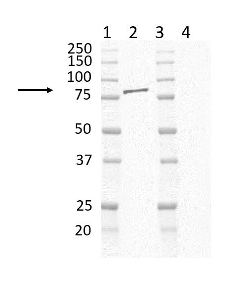 Anti Mouse IgG2b:Alk. Phos Antibody, clone AbD24127 thumbnail image 10