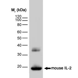 Anti Mouse Interleukin-2 Antibody, clone JES6-1A12 gallery image 1