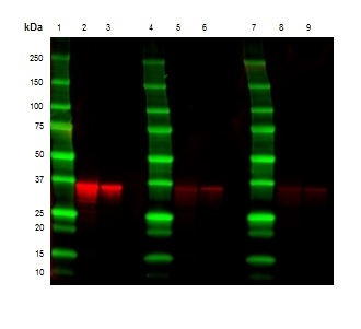 Anti Mouse Kappa Light Chain Antibody, clone OX-20 thumbnail image 3