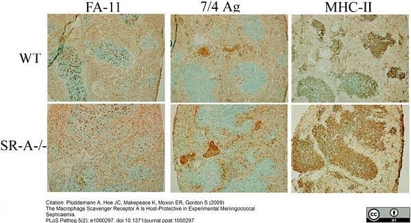 Anti Mouse Ly-6B.2 Alloantigen Antibody, clone 7/4 thumbnail image 33