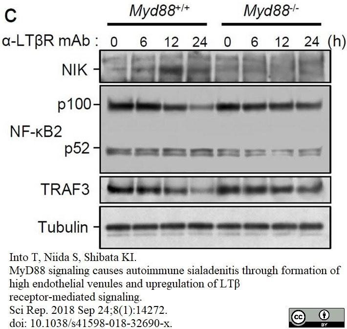 Anti Mouse Lymphotoxin Beta Receptor Antibody, clone 5G11b thumbnail image 2