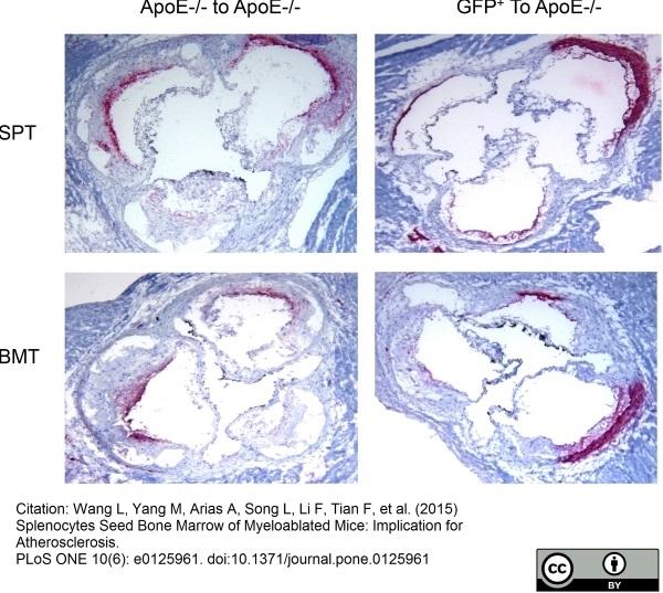 Anti Mouse Macrophages/Monocytes Antibody, clone MOMA-2 thumbnail image 10