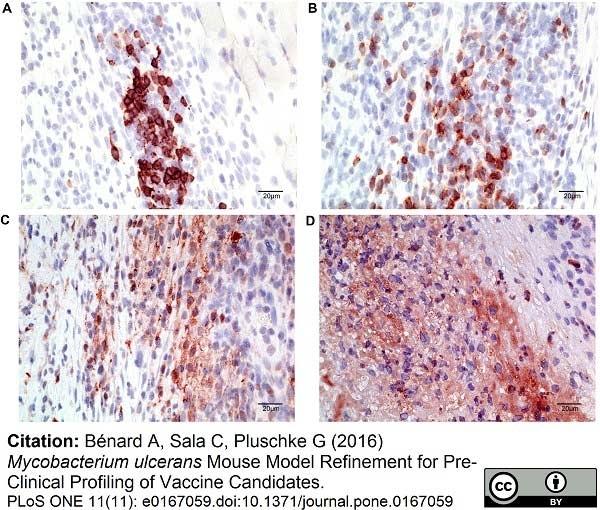 Anti Mouse Macrophages/Monocytes Antibody, clone MOMA-2 thumbnail image 16
