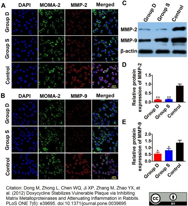Anti Mouse Macrophages/Monocytes Antibody, clone MOMA-2 thumbnail image 22