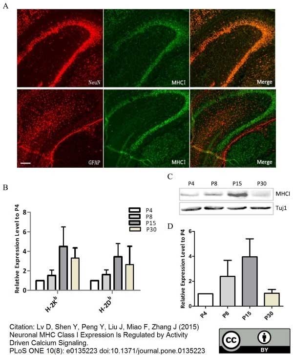Anti Mouse MHC Class I H-2b/D/P/Q/w16 Antibody, clone ER-HR52 gallery image 1