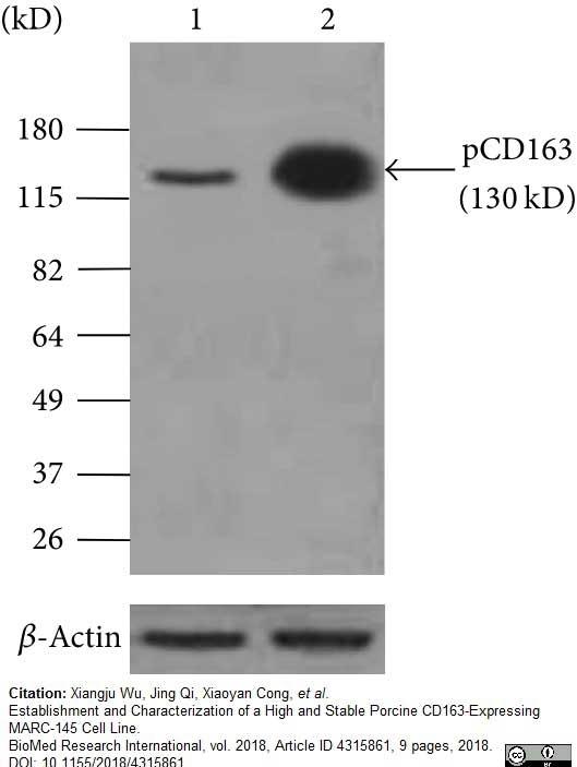 Anti Pig CD163 Antibody, clone 2A10/11 thumbnail image 11