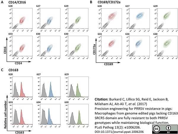 Anti Pig CD163 Antibody, clone 2A10/11 thumbnail image 12