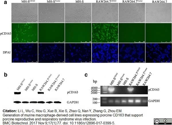 Anti Pig CD163 Antibody, clone 2A10/11 thumbnail image 4