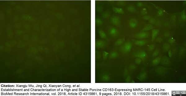 Anti Pig CD163 Antibody, clone 2A10/11 thumbnail image 6
