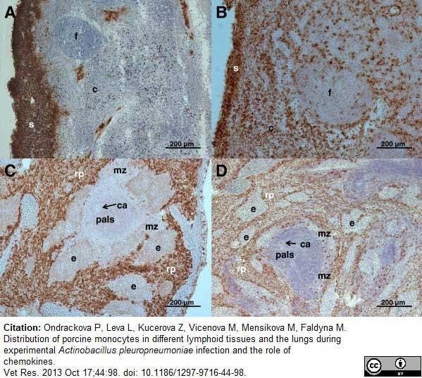 Anti Pig CD163 Antibody, clone 2A10/11 thumbnail image 7