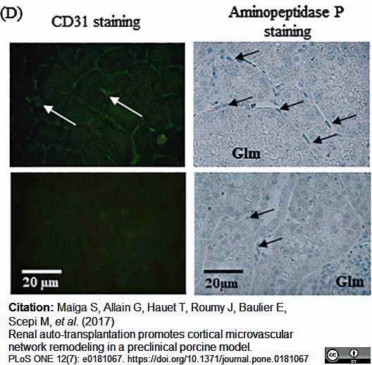 Anti Pig CD31 Antibody, clone LCI-4 thumbnail image 8