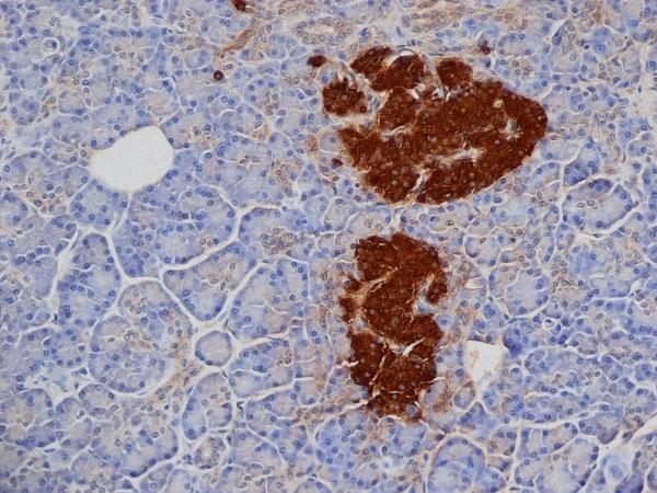 Anti Pig Insulin Antibody, clone 2D11 thumbnail image 2