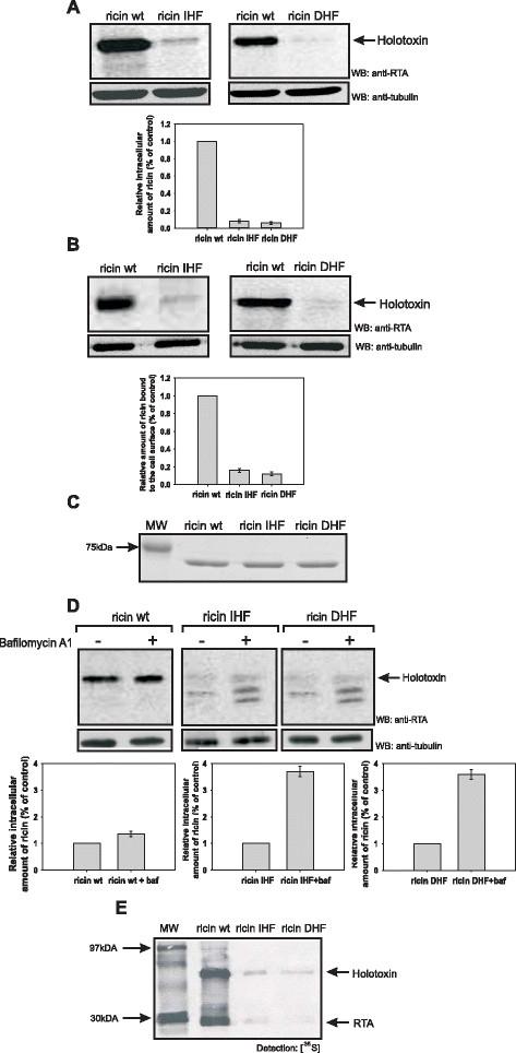 Anti Ricin A Chain Antibody, clone RA999 gallery image 1