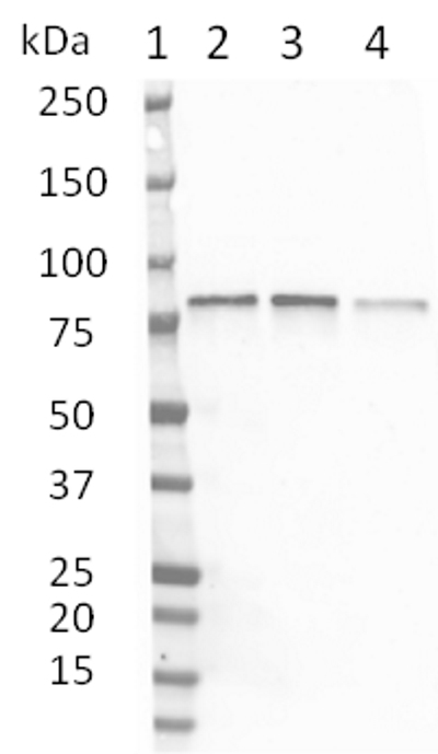 Anti Protein Kinase C Alpha Antibody, clone 133 thumbnail image 1