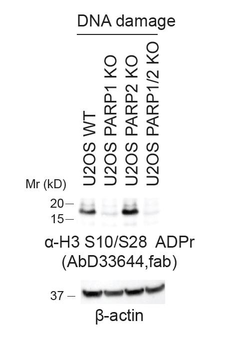 anti H3-S10-ADP-RIBOSE Antibody, clone AbD33644 gallery image 1