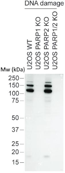 anti MONO-ADP-RIBOSE Antibody, clone AbD33204 thumbnail image 2