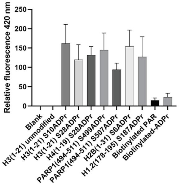 anti PAN-ADP-RIBOSE Antibody, clone AbD33641 thumbnail image 1