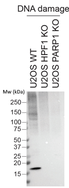 anti PAN-ADP-RIBOSE Antibody, clone AbD33641 thumbnail image 2