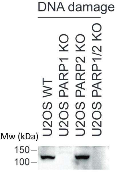 anti PARP1-S499-ADP-RIBOSE Antibody, clone AbD34251 gallery image 1