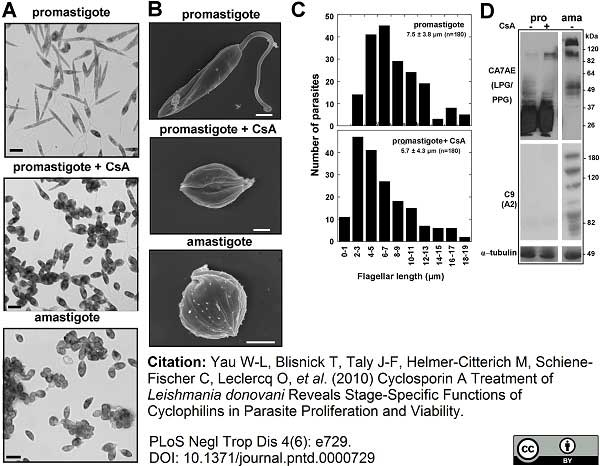 Anti Leishmania LPG (Repeat Epitope) Antibody, clone CA7AE thumbnail image 2
