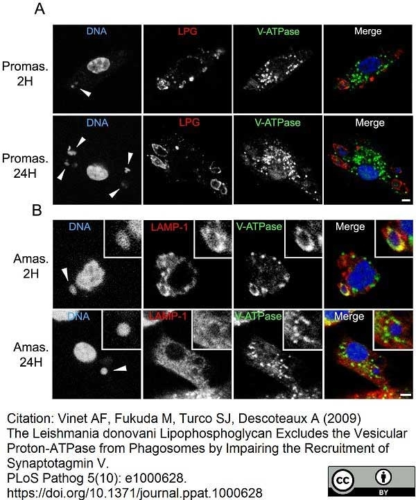 Anti Leishmania LPG (Repeat Epitope) Antibody, clone CA7AE thumbnail image 6